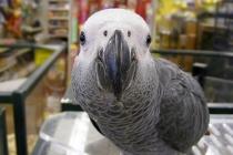 afrika-gri-papagan
